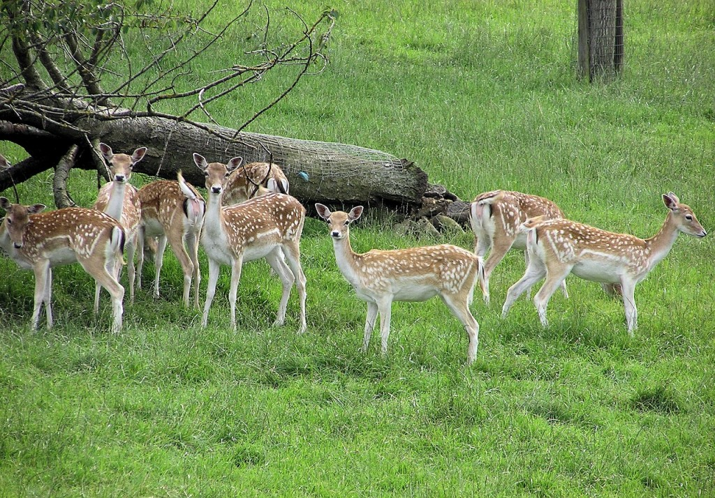 fallow-deer-597550_1280